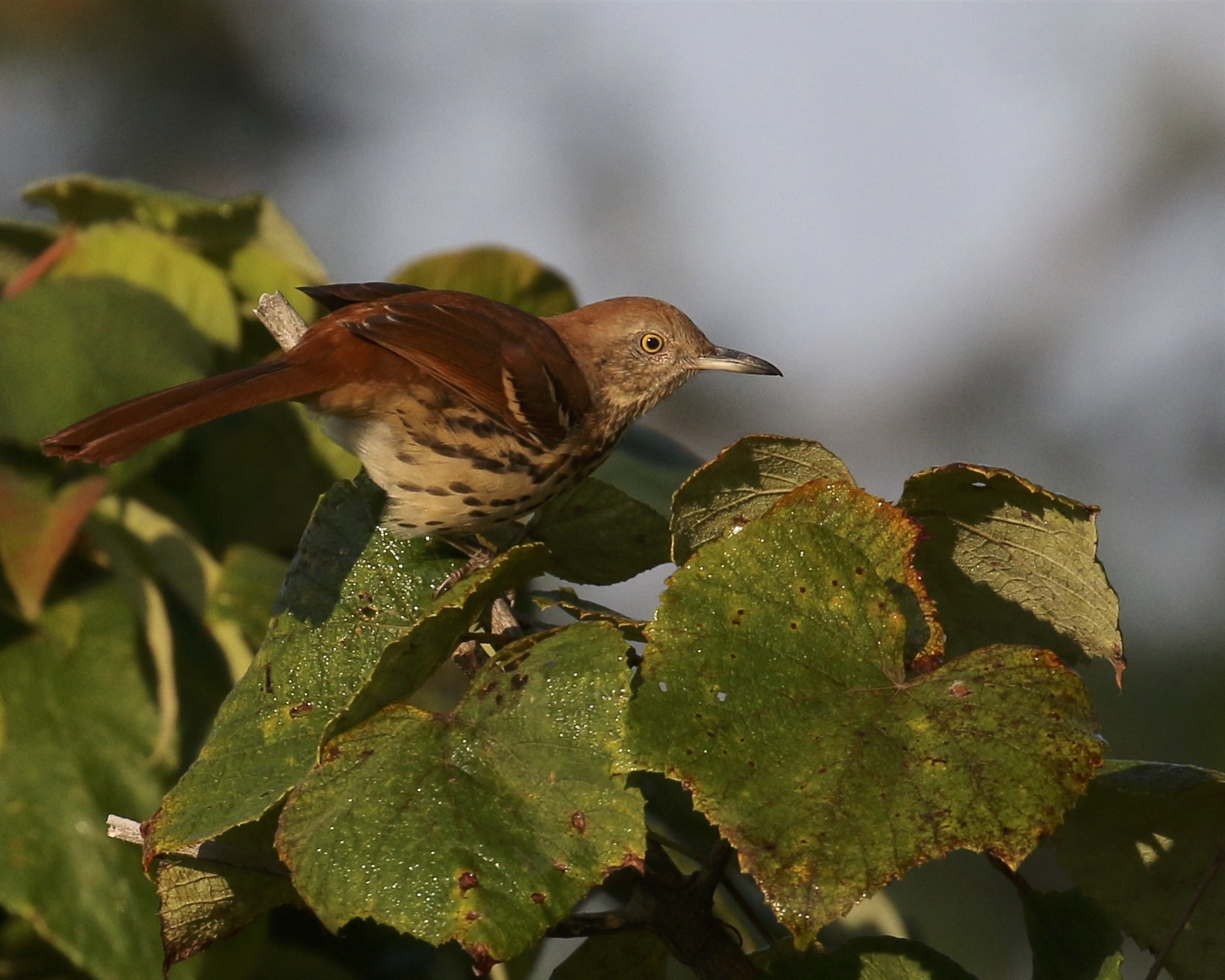 ~I got a great look and spent some time photographing this Brown Thrasher, Highland Lakes SP 9/4/16.~