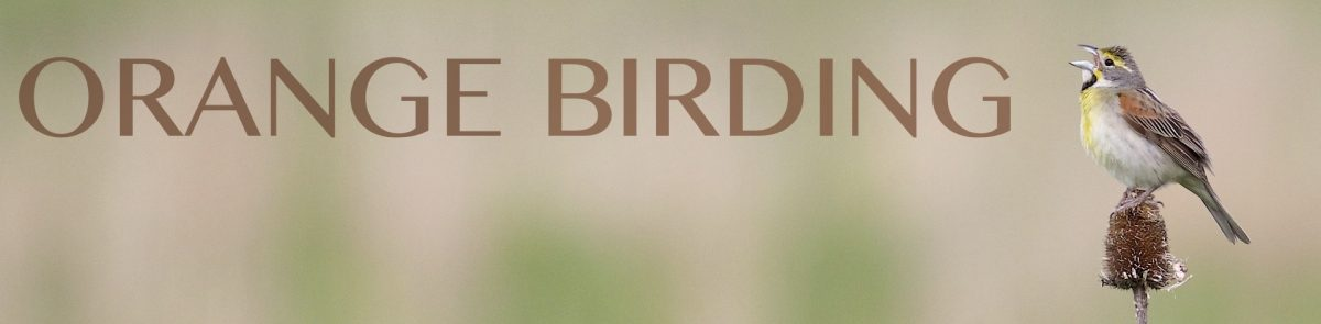 Orange Birding